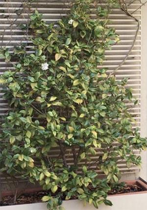 Reiki per le piante. La pianta prima del trattamento